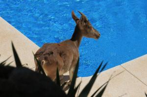 Ibex visiting Majada pool.